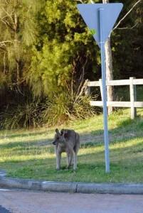 urban kangaroo 1