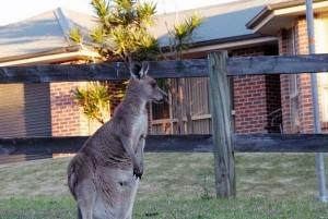 urban kangaroo 2