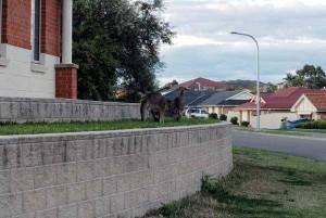 urban kangaroo 9