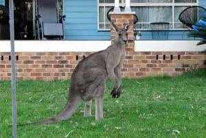 urban kangaroo 3