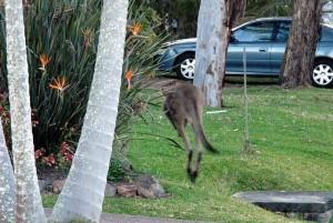 urban kangaroo 4