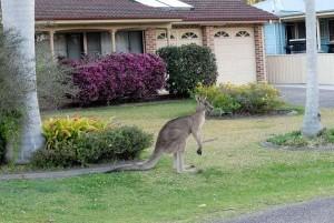 urban kangaroo 5