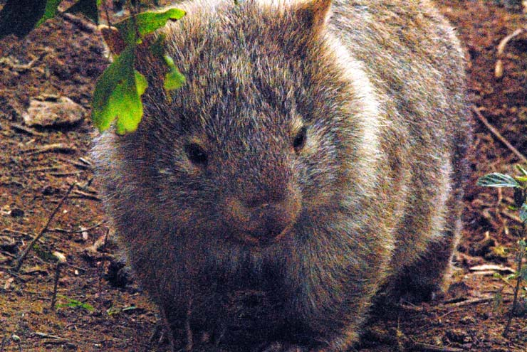 baby wombat - on a Sydney private tour.