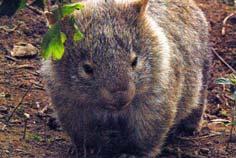 wombats tour sydney - baby wombat