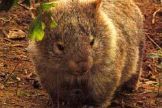 bebé wombat