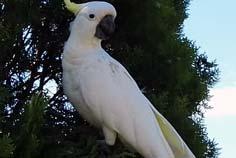 sydney parrots - cockatoo