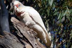 corella sydney parrot