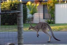 canguros y pelícanos - canguro saltando por la calle principal