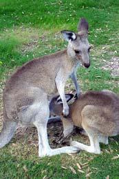 alimentation kangourou