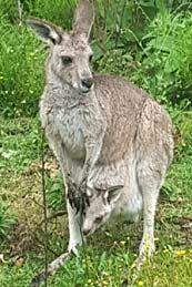 kangourou et joey humides