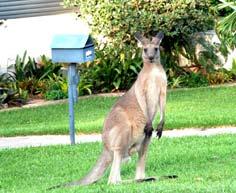 kangourou vérifiant la boîte aux lettres