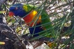 sydney parrots - rainbow lorikeets