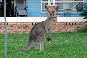 Urban kangaroo in the yard