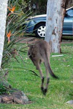 kangaroo hopping down away