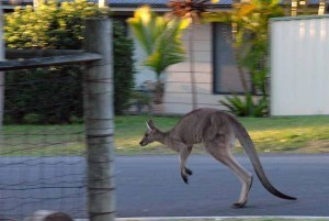 urban kangaroo on main street