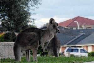 kangaroo in the hood