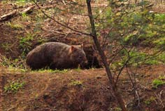 wombat y madriguera
