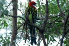 Sydney Parrots - Eastern Rosella