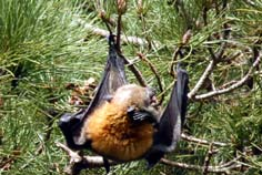 sydney flying foxes - fruit bat