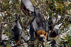colony of sydney flying foxes